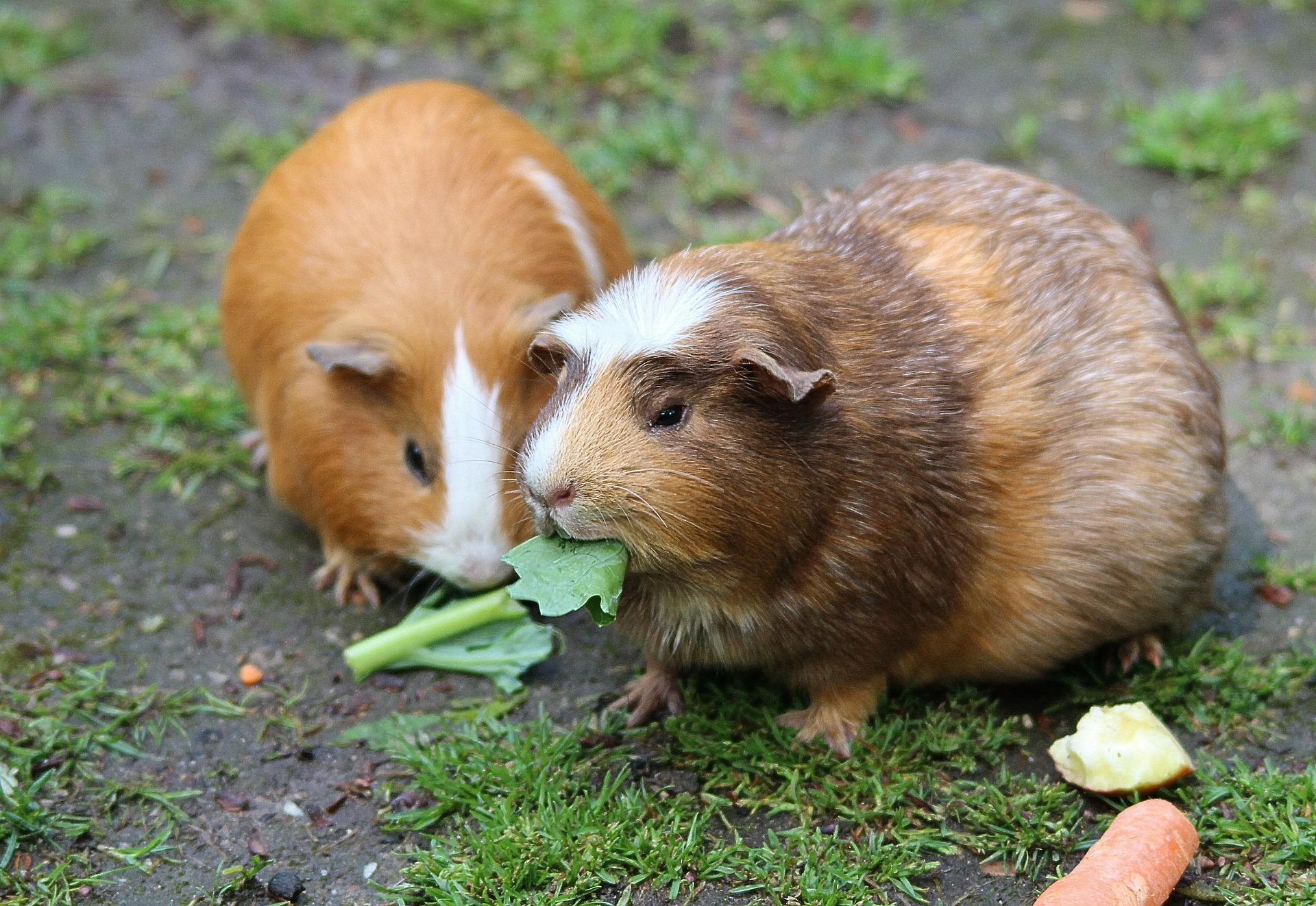 les cochons d'Inde
